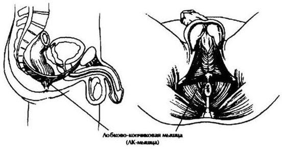 a pénisz izomzatának gyakorlása
