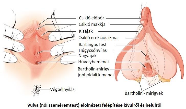 váladék váladék az erekció során)