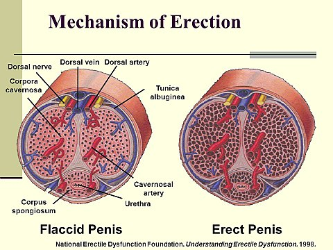 a herék és a pénisz stimulálása