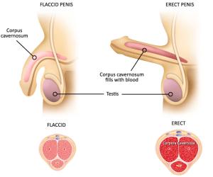 100 az erekció helyreállítása az erekciós peték során