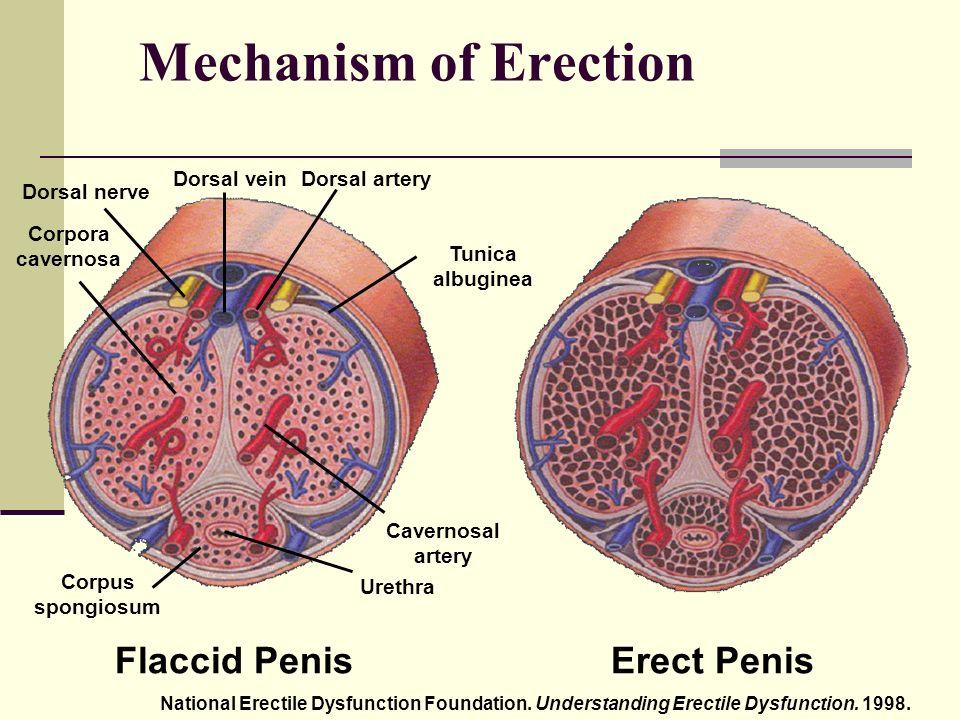 az erekció mechanizmusa