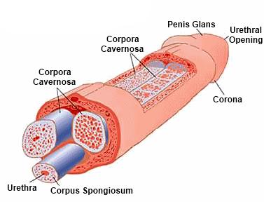 erekcióval mennyivel növekszik