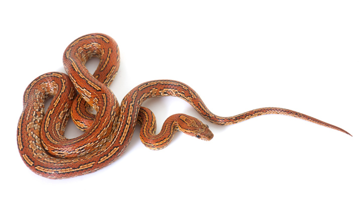 kígyó két pénisz