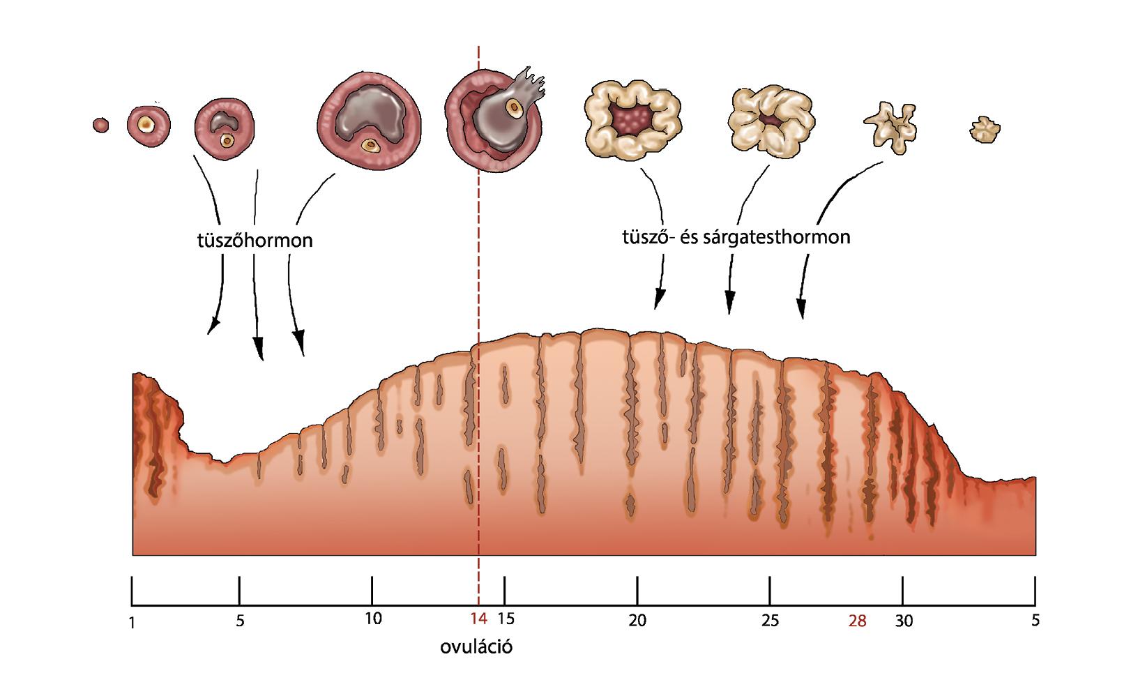 merevedés és ovuláció javítsa az erekciót egy hét alatt