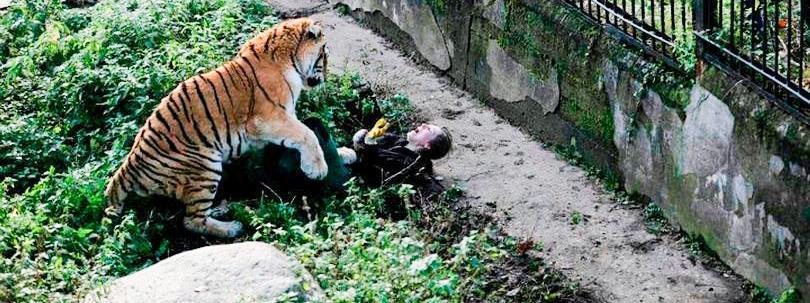 tigris pénisz tinktúra