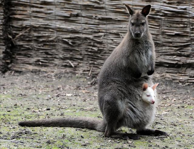 mennyi pénisze van egy kengurunak)