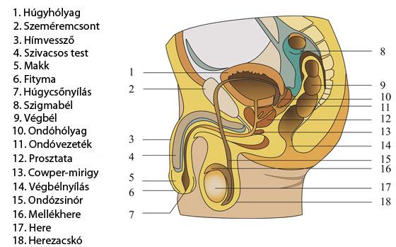 Férfi nemi szervek - Wikiwand