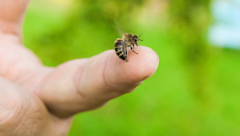 A péniszét is megcsípette egy tudós, hogy hiteles beszámolót írhasson a méhcsípésekről - Dívány