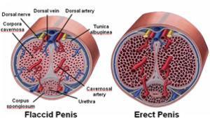 erekció és gonadotropin férfi hímvessző mellékletek