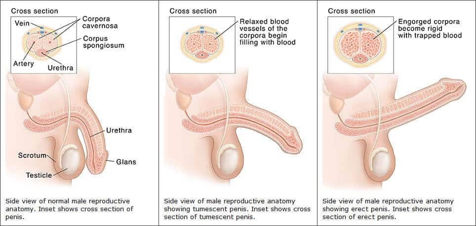 erekció férfi szerv