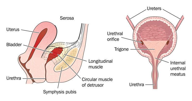 erekciós férfiak vizelési fájdalma
