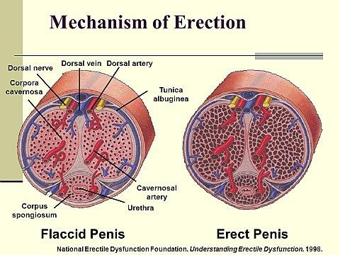 miért növeli a pénisz az erekciót