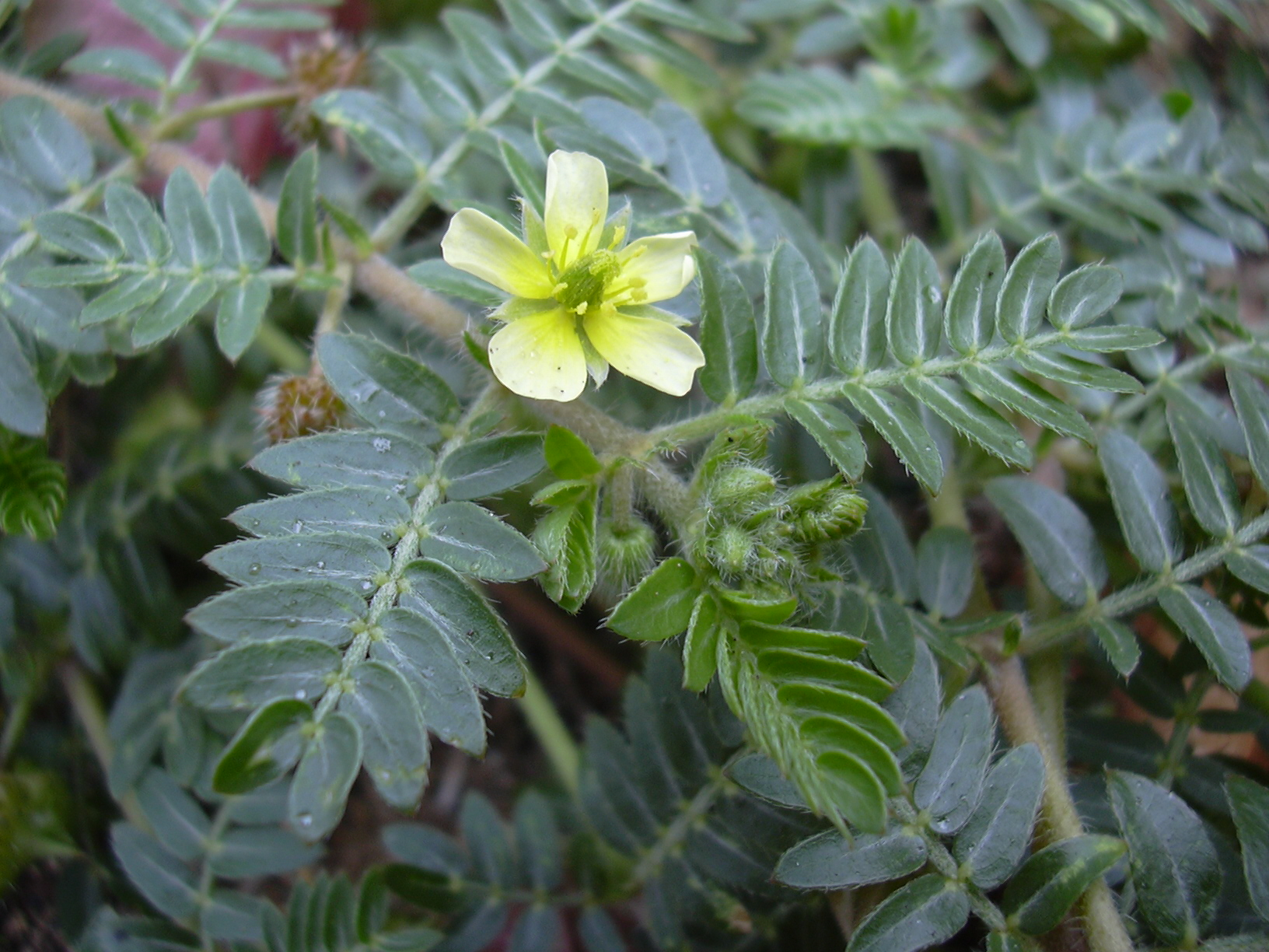 az erekciót fokozó növények)