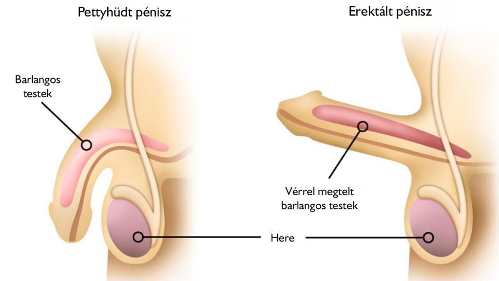 a pénisz görbülete lefelé erekcióval