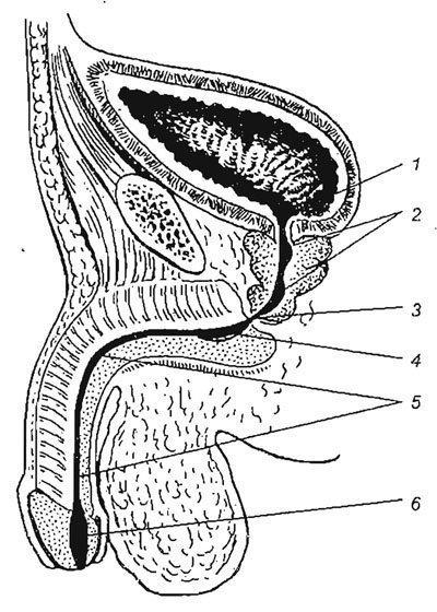 erekció során a herék felemelkednek