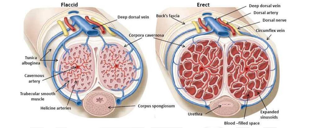 az erekcióért felelős idegek