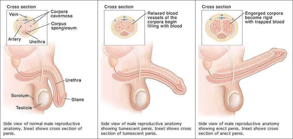 csökkent erekció a péniszben