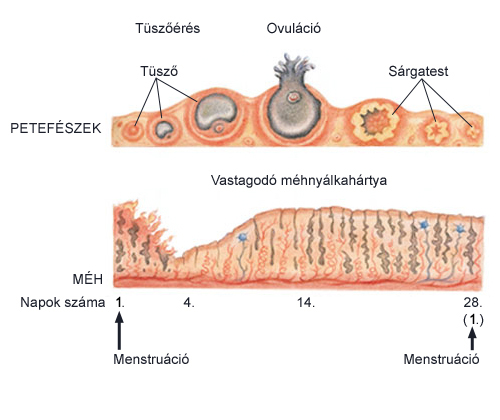 az erekció során nyálka válik ki