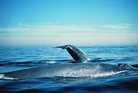 Hatalmas bálnapéniszt kapott lencsevégre a fotós | hu