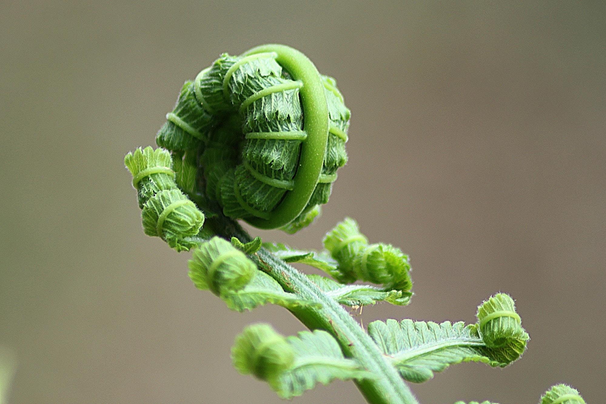 növény a pénisz számára